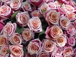 roses-535828_640
